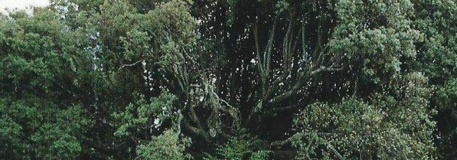 il Leccio gigante di Villa Belmonte